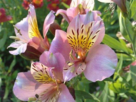 imagenes flores astromelias flores no jardim agapantos astrom 233 lias e d 225 lias