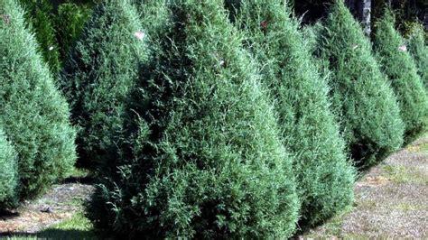 closest christmas tree farm near me the sun herald