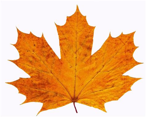 fall leaves outline clipart best