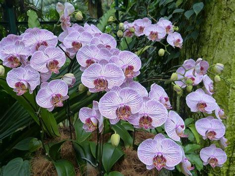 come curare l orchidea in vaso orchidea phalaenopsis orchidee curare l orchidea