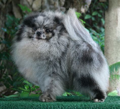 how much is pomeranian in philippines 60 the legend of a the blue speckled marbled eye pomeranian canton pomeranians
