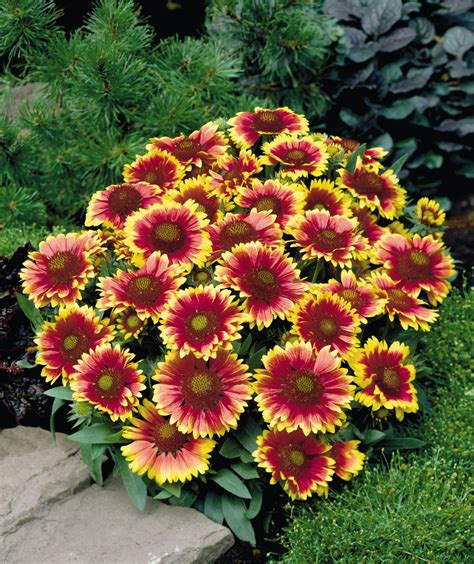 flowers plants gaillardia x grandiflora aristata arizona sun perennial benary