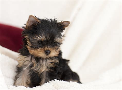 pictures of yorkie puppies yorkie 100 more photos