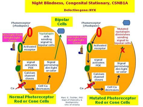 Congenital Stationary Blindness blindness congenital stationary csnb1a