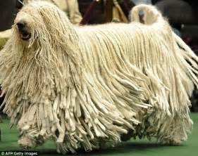 mop dogs westminster show 2011 scottish deerhound crowned best in show daily mail