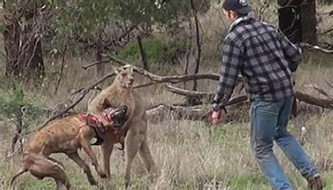 punches kangaroo to save omg punches kangaroo in to save world news