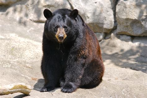 black bear animal galleries pictures of animals from around the