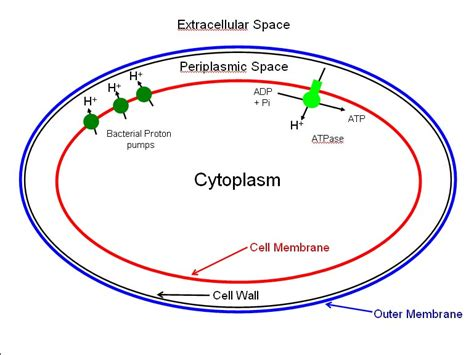 bacterial cell diagram labeled bacterial cell diagram diagram site