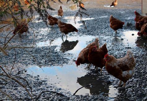 cuisiner une poule le panier rend visite 224 la ferme du coq et hop une