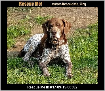 wisconsin german shorthaired pointer rescue adoptions