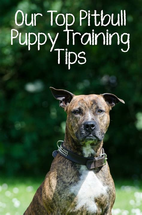 pitbull puppy tips our top pitbull puppy tips dogvills