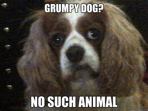 Such Dog Meme - grumpy dog no such animal grumpydog quickmeme
