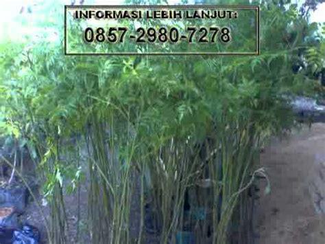 Jual Bibit Bambu Kuning Jogja jual benih bibit bambu kuning