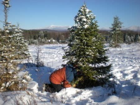 17 best images about vermont christmas tree farms on
