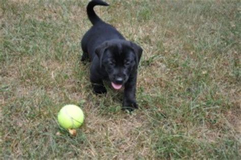 bassador puppy bassador puppy for adoption