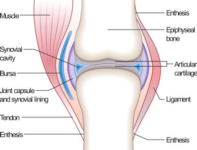 bone joint diagram diarthrosis joints diarthrodial or synovial ground up