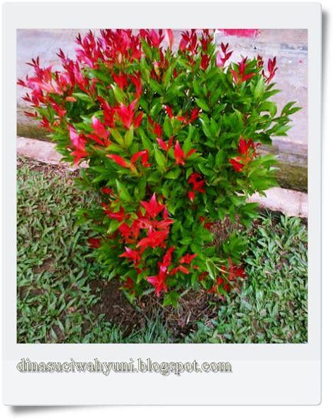 klasifikasi ilmiah syzygium oleana tanaman hias pucuk