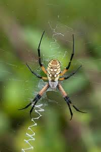 black and yellow garden spider argiope aurantia