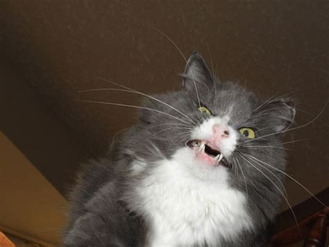 21 hilarious pictures of cats that are about to sneeze bored panda