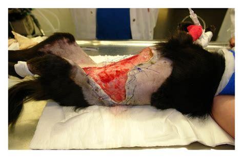 localized subcutaneous acute febrile neutrophilic dermatosis   dog figure