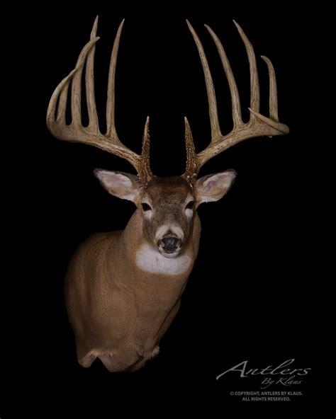 king buck kansas king sheds antlers by klaus