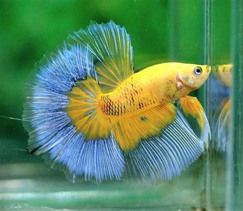 Betta Splendens Cupang Hias Plakat Koi Galaxy 141 best betta fish images on betta aquarium