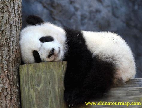 images of panda bears panda photos panda pictures panda photos panda