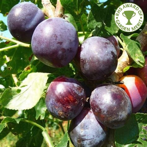 czar plum tree buy plum tree purchase plum fruit trees
