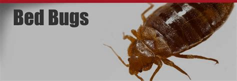 how bed bugs spread how quickly do bed bugs spread 28 images bed bugs pest
