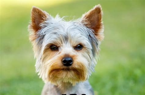 are yorkies with are yorkies hypoallergenic dogs dogvills