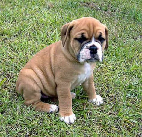 boxer puppies for sale los angeles 20 best images about puppies on miniature and brindle pug