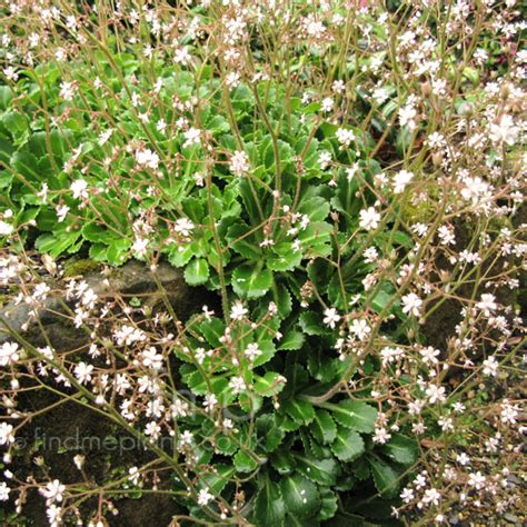 Foliage Of Plants - plant pictures saxifraga umbrosa saxifrage secondary image