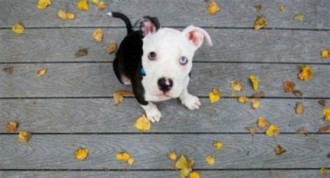 colby pitbull puppies colby in a tuxedo puppy pictures daily