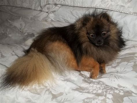 wolf pomeranian puppy pomeranian breed 187 information pictures more