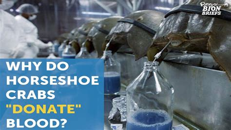 what color is horseshoe crab blood horseshoe crab blood saves lives