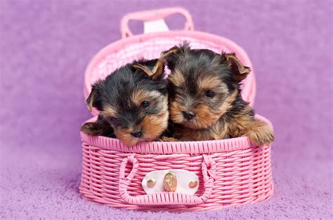 how to become a yorkie breeder terrier breed standards