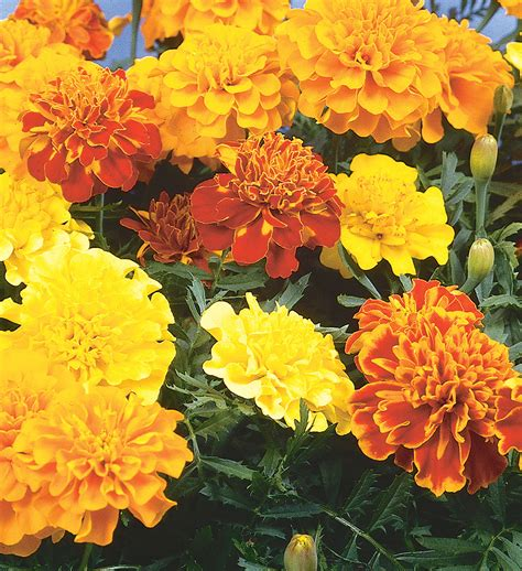 Marigolds Shade by Marigold Dwarf Bonnie Plants