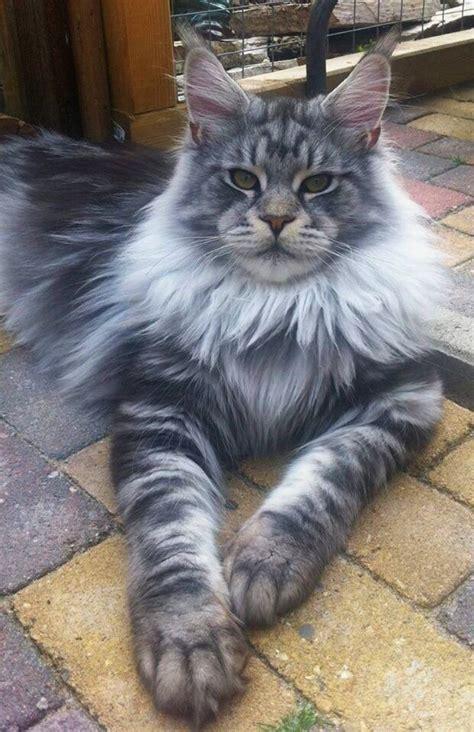 maine coon cat breed 26 best images about feline on pinterest cats devon rex
