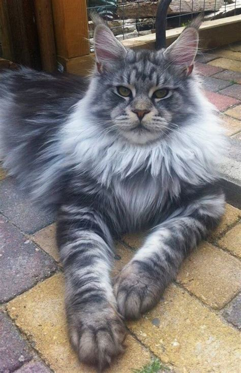 The stunning Maine coon. The largest breed of domestic cat