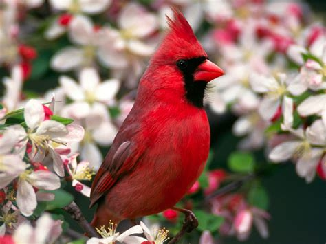 bird directory northern cardinal of christmas