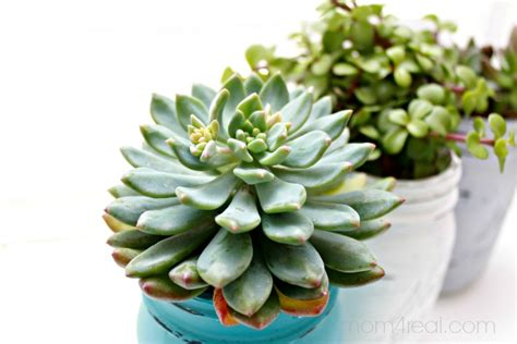 How To Propagate A Succulent Cookie And Kate - jar succulents planters indoor gardening idea