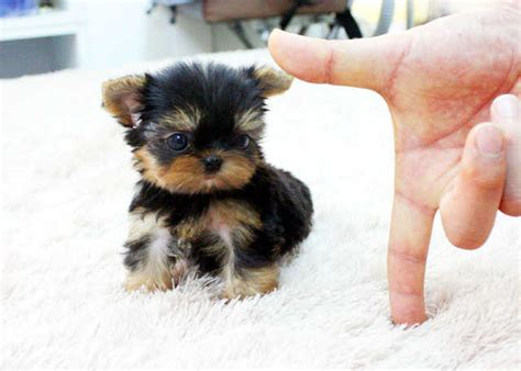 free yorkie puppies near me puppies available for adoption near me pets world