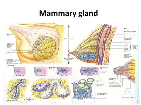 How To Detox Mammary Glands Before Conception by Reproductive System Ppt
