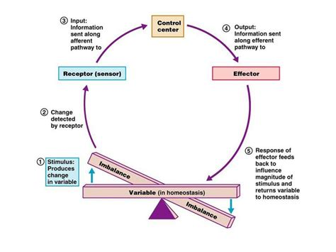 body biography definition the biological definition of homeostasis is the tendency