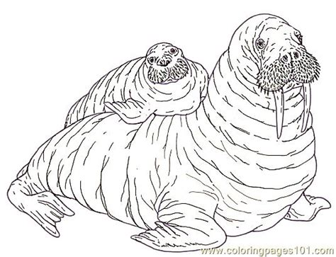 coloring page for walrus free coloring pages of a walrus
