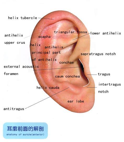anatomy of the outer ear diagram ear auricle anatomy human anatomy diagram