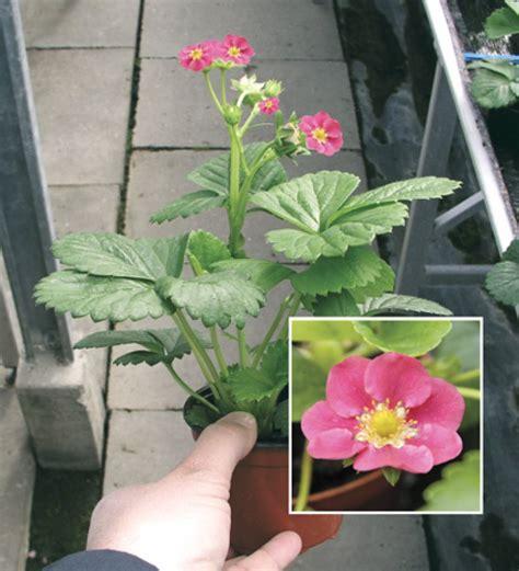 piante con fiore rosso floricoltura pedronchina