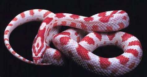 color pattern of coral snake corn snake morphs google search snake patterns