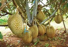 gambar pohon durian pendek lebat berbuah buah buahan fruit durian tree dan fruit garden