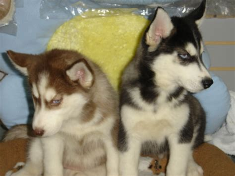 pomeranian husky puppy sale pomeranian husky puppies for sale breeds picture